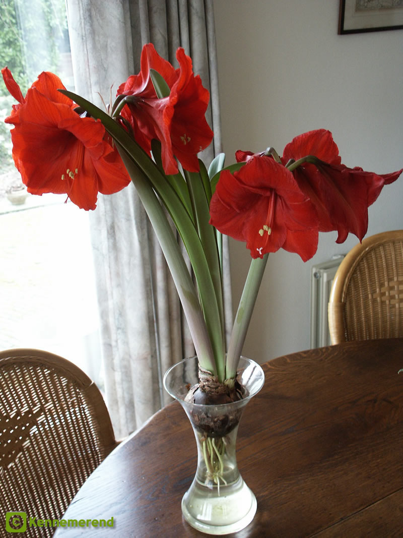 Hyacinth vases other vases for Vase amaryllis